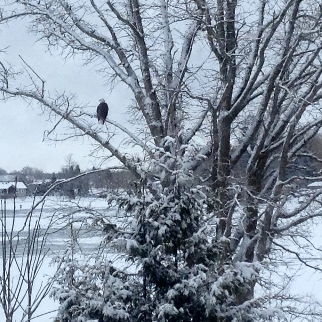 View from our kitchen window. This huge eagle is hunting the family of otters that live on the river. Living on the river can be stressful!