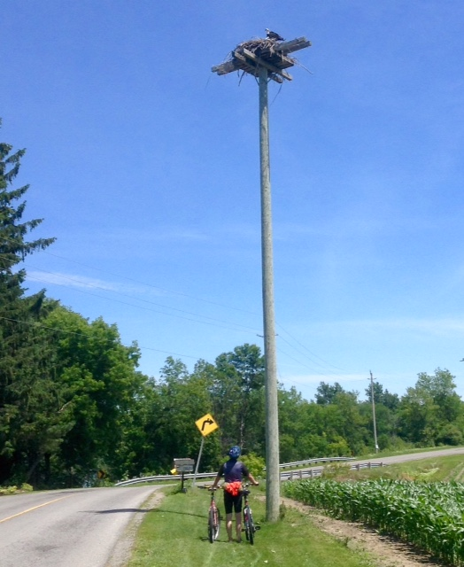osprey nest on River Rd, near Kemptville, Ontario