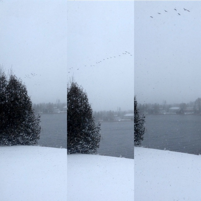 Geese leaving the Rideau River during the first big snowfall of the season
