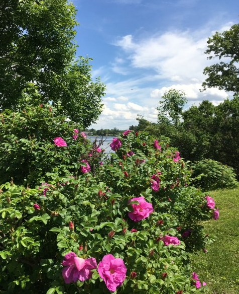pink wild roses amid greenery and blue sky