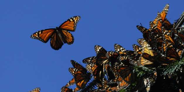 endangered monarch butterflies in Mexico