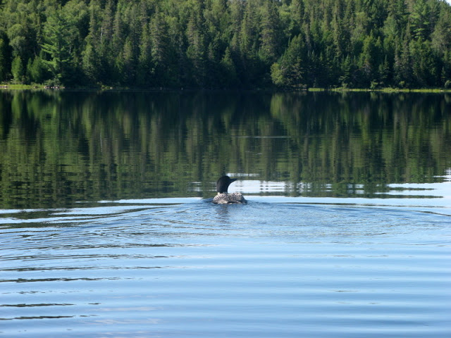 a loon on a lake surrounded by forest